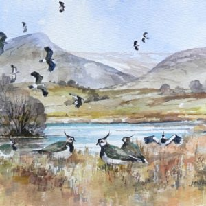 Lapwings at Flodders (S)